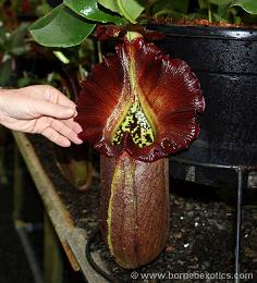 Nepenthes robcantleyi XS