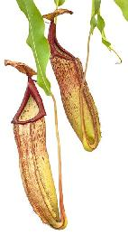 Nepenthes sp. #1